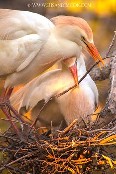 Cattle Egrets nest building, St. Augustine, Florida