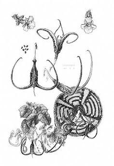 Devil's Claw-Devil's Claw botanical illustrationbyPatLatas