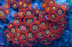 World Wide Corals   Buy corals online - LPS, SPS, Chalice, and soft corals for your saltwater aquarium in Orlando, FL.