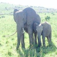 19victoria gaudin_elephants at masai mara.jpg