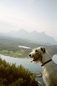 Irish Wolfhound I'm getting me one of these later in life