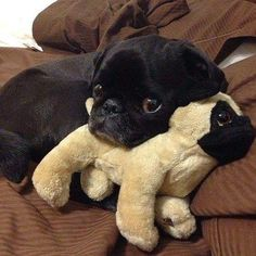 I'm a pug sleeping with my pug doll. What of it?