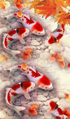 "Koi fish are the domesticated variety of common carp. Actually, the word ""koi"" comes from the Japanese word that means ""carp"". Outdoor koi ponds are relaxing. Koi Fish Pond, Fish Ponds, Koi Art, Fish Art, Koi Kunst, Koi Painting, Beautiful Sea Creatures, Watercolor Fish, Fish Wallpaper"