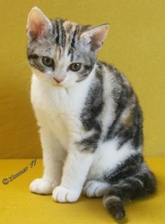 American Wirehair Cat Breeds - Cats In Care I Love Cats, Crazy Cats, Cute Cats, Pretty Cats, Types Of Cats Breeds, Cat Breeds, Kittens Cutest, Cats And Kittens, American Wirehair