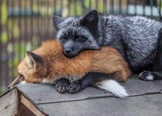 Red and Black fox.Don't they make a great couple