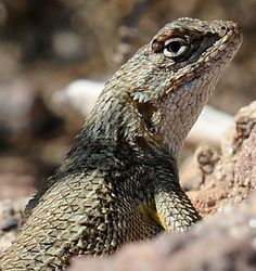 western fence lizard - Google Search