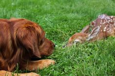 Ziva found this newborn fawn in the middle of the road and wouldn't leave it's side until we moved it to the lawn. Then she stayed with it to make sure it was alright. The mother must have come for it at night as it was one the next morning.