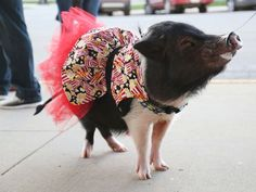 This pig is the main attraction at a small town movie theater