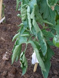 Disorders of tomato : Vegetables : Yard and Garden : University of Minnesota Extension