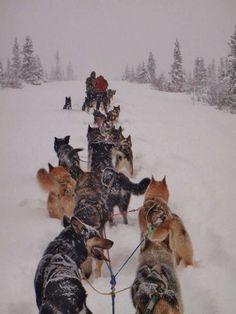 The patrol dogs of Denali National Park in Alaska <3