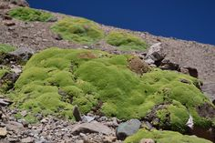Azorella madreporica () Region Metropolitana, Valle Nevado, Chile, Altitud: 3100-3600 mtrs. No confundir con la Azorella compacta o Llareta.
