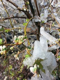 Blueberry congelada
