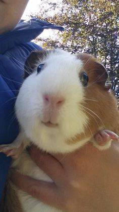A fantastically cute guinea pig
