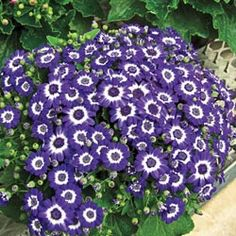 Jester Blue Bicolor Cineraria - Ship Season: both Spring & Fall