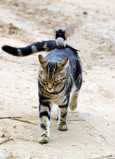 brave little bird taking a ride on kitty's back The Cat Is Lookin Like To Me If You Don't Get Off My Back