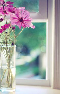 cosmos on the windowsill