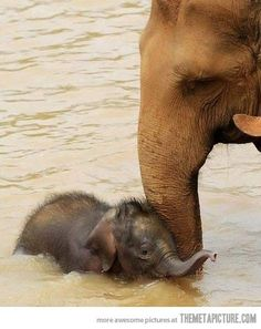 Baby elephant's first swimming lesson…