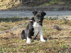 NESSA is an adoptable Border Collie searching for a forever family near Barkhamsted, CT. Use Petfinder to find adoptable pets in your area.