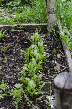 Călugăr în grădina ta Raised Beds, Vegetables, Lasagna, Garden, Women, Plant, Garten, Women's, Vegetable Recipes