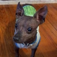 Nacho - Xoloitzcuintle (Mexican Hairless) Xoloitzcuintli Primitive Breed Rescue