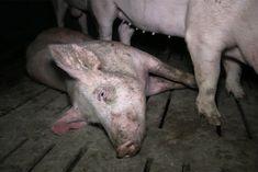Monatelang wurde bei VION, einem der größten Schlachterunternehmen in Deutschland, recherchiert und dokumentiert. Die Aufnahmen zeigen, wie Schweine brutal aus Transportern getrieben werden. 25.000 Schweine werden alleine am Standort in Zeven