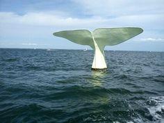 Quand on est aux abords d'Arcachon, on peut apercevoir un spécimen rare de baleine...lol