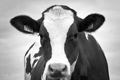 Farm Animals, Funny Animals, Cute Backrounds, Holstein Cows, Cow Painting, Gray Aesthetic, Wood Patterns, Border Collie, Cattle