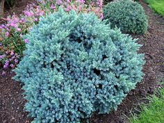 juniperus squamata blue star - Google Search