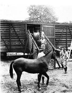Troop B, 252d Quartermaster Remount Squadron, unloading horses for the Third U.S. Army maneuvers, Camp Polk, LA, fall 1942