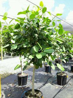 "17"" Ficus Audrey Standard"