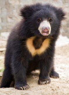 Layla the sloth bear cub by Jo Bradford at FunkySafari Sloth Bear, Baby Sloth, Bear Cubs, 3 Bears, Teddy Bears, Nature Animals, Baby Animals, Funny Animals, Cute Animals