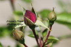 Rosebud spring 2012.  Photo by Rachael Irvine, Irvine's Place Photography