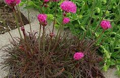 Armeria Rubrifolia Red Leaf Sea Thrift, great in mini gardens. Awesome color!
