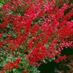 Korallikeijunkukka Red Perennials, My Flower, Flowers, Heuchera, Fall Season, Garden Planning, Different Colors, Outdoor Gardens, Home And Garden