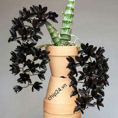 Catasetum.. Black