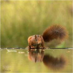 Red Squirrel - From the Holterberg hide series.