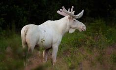 Beautiful, inspirational and creative images from Piccsy. Moose Deer, Bull Moose, Moose Art, Wild Pictures, Animal Pictures, Albino Moose, White Moose, Komodo Dragon, Rare Animals
