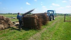 Dry willow being picked up from drying outside to be sorted 2016