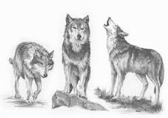 drawings of wolves - Google Search
