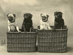Pug 1926 Photographic Print