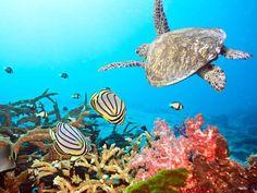 tubbataha reef turtle scene
