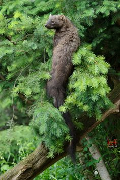~ Jeff Wendorff - Fisher Cat in a tree looking for attackers Fisher Animal, Fisher Cat, Black Bear, Brown Bear, Japanese Flying Squirrel, Cat Run, Conifer Trees, Fishing Pictures, Best Fishing
