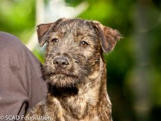Burton is a very friendly puppy and loves affection from humans. He loves playing with toys and playfighting with his brothers and sisters. Like most of the pups in the litter, he is a very active little individual and loves running around.