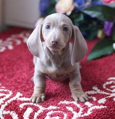 isabella dachshund puppies - Searchya - Search Results Yahoo Search Results