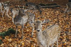 Deer in autumnal forest Photos One deer looking into the camera, some more (out of focus) standing behind. The photo edit has a war by yeah i¡¯m jk