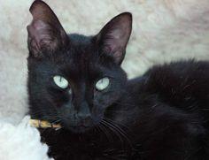 THUNDER - Gato adoptado - AsoKa el Grande