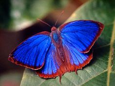 Orsis Bluewing Butterfly (Myscelia orsis)  - ALSO KNOWN AS 'ORSIS HAIRSTREAK!!'  - Brazil, Colombia, Bolivia - SUCH AMAZING & VERY UNUSUAL COLOURING!! - SO BEAUTIFUL!! ⭕️