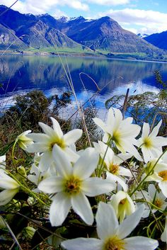 Wildflowers growing on the shores of Lake Wakatipu, near Queenstown, New Zealand
