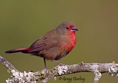 African Firefinch by Gregg Darling, via 500px