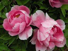 Peonies in Classical Chinese Poetry - Rosen - Flowers Tree Peony, Peony Flower, Flower Art, Cactus Flower, Art Floral, Pink Flowers, Beautiful Flowers, Exotic Flowers, Pink Peonies